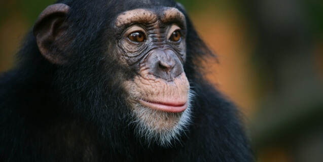 NIH Releases Plan to Retire All Government-Owned Chimpanzees
