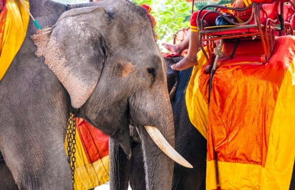 elephants for tourist rides in Thailand