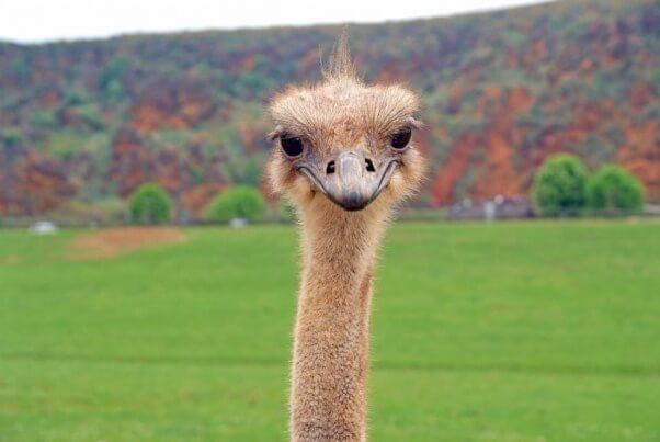 ostrich-744933_1280