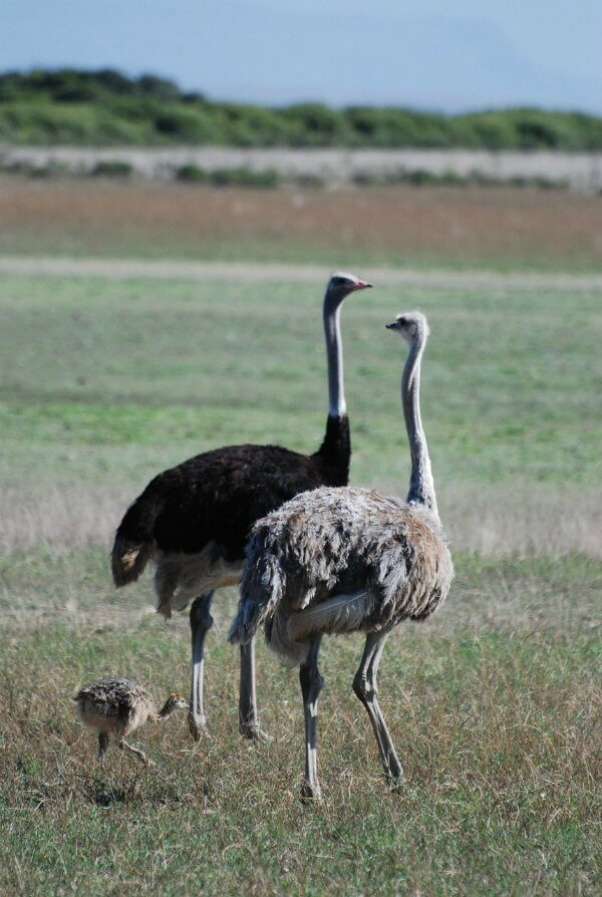 ostrich-786259_1280