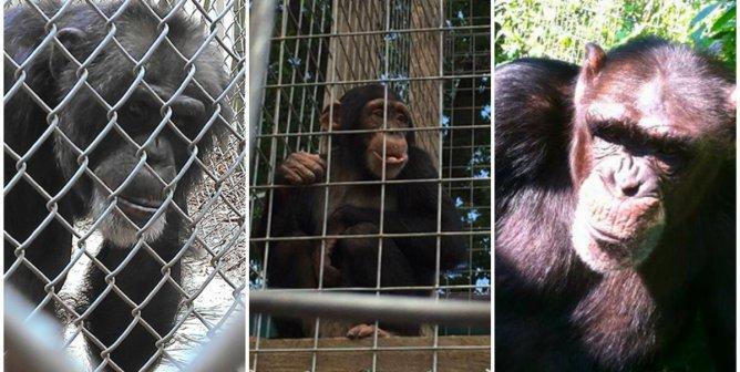 Help Free Louie the Chimpanzee