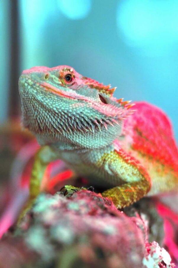 UPDATE: Beauty Is in the Eye of Deformed Lizard's New