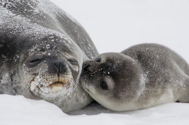 Mama and baby seal