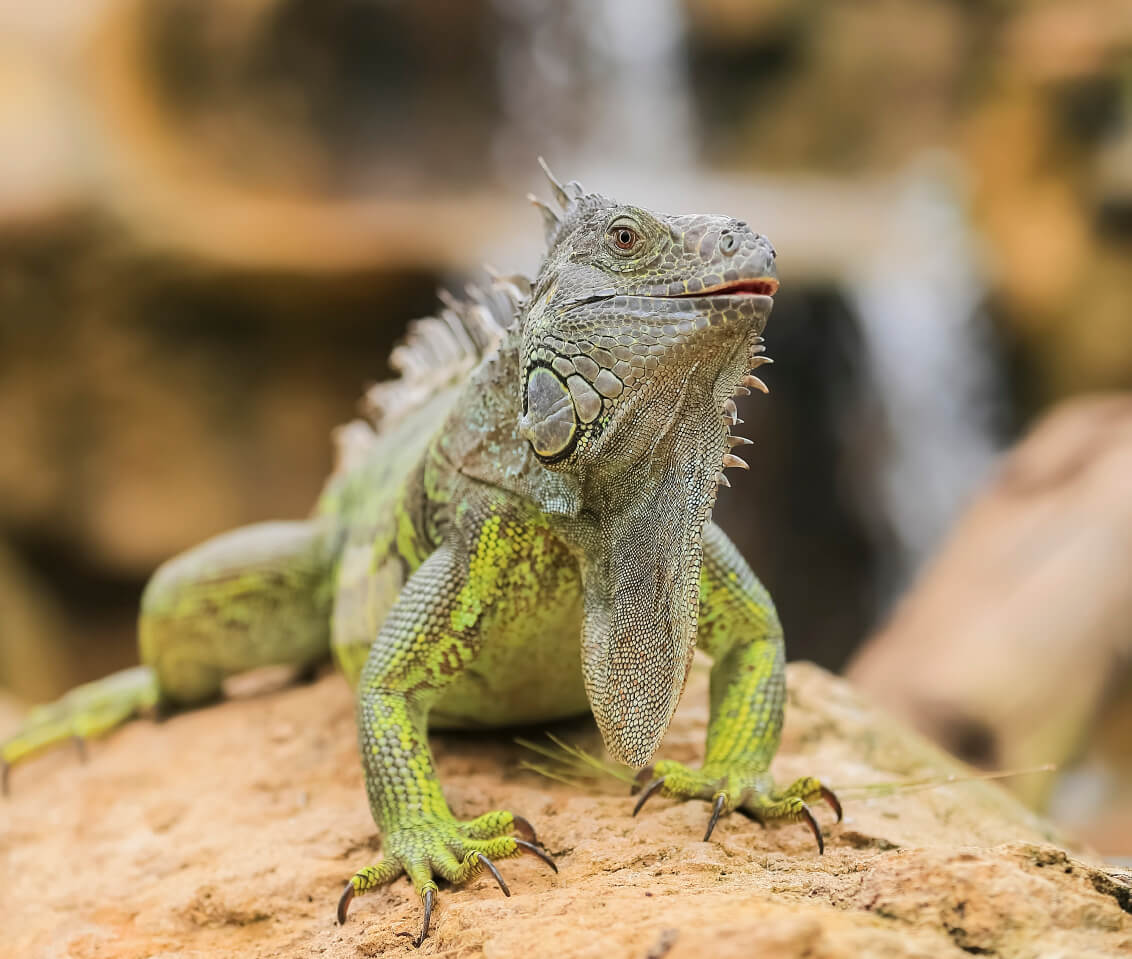 Florida Homeowners Urged to Kill Iguanas 'Whenever Possible'—Take Action Now to Help Stop the War on Them!