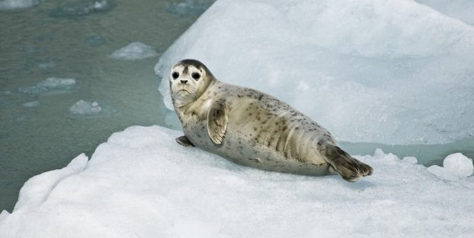 Striking, Checking, and Bleeding: Canada's 'Humane' Seal-Slaughter Process