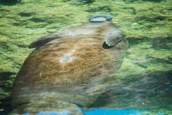 sunbathing-manatee
