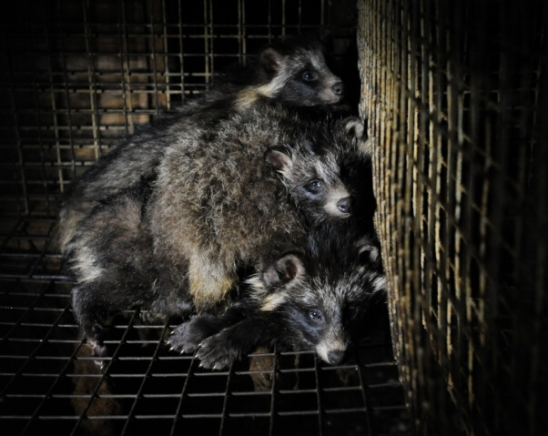 Mother Raccoon Dog and Her cubs trapped in fur farm