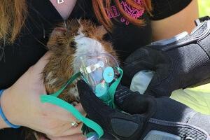 guinea pig firefighter award