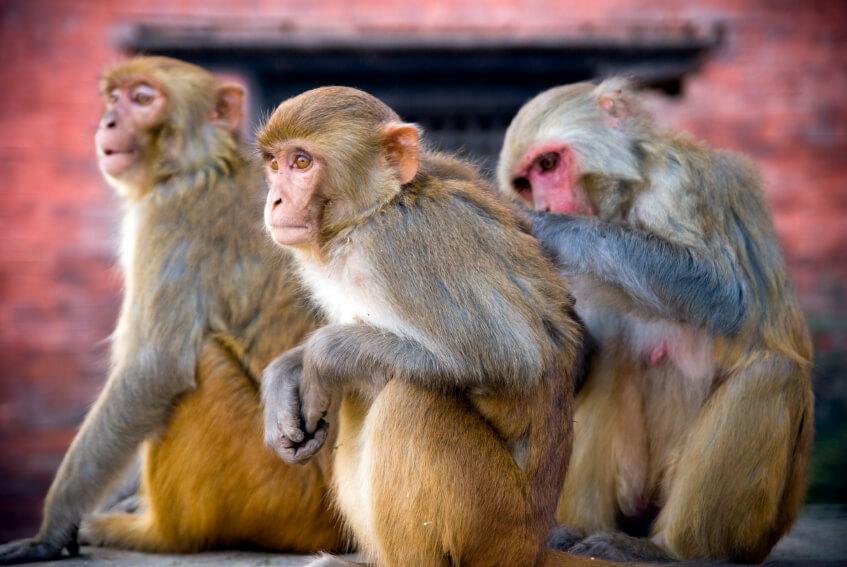 three macaque monkeys