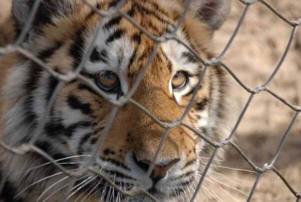 Tiger behind chain link fence