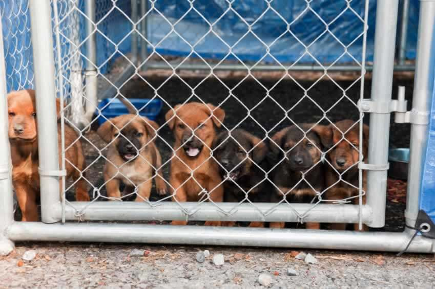 Six brown puppies in shelter