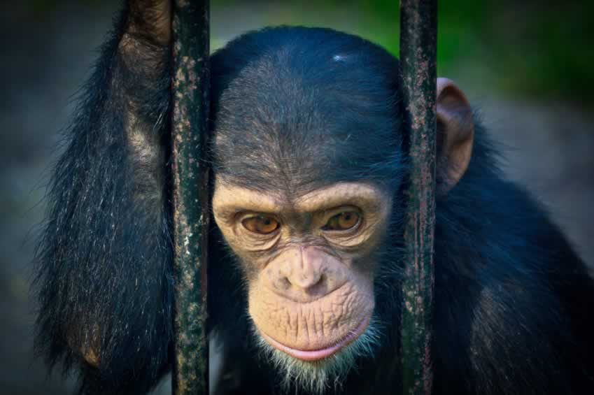 primates suffer from animal trafficking.