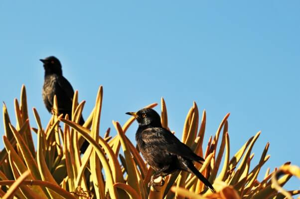 Fork-tailed drongos