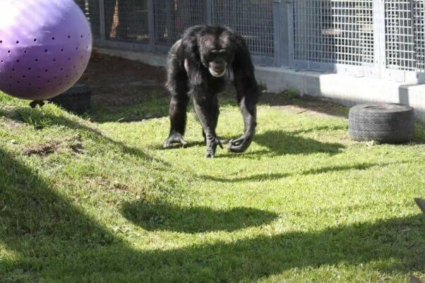 Joe at Save the Chimps