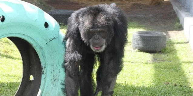 Rescued! Chimpanzee's Solitary Confinement Comes to an End