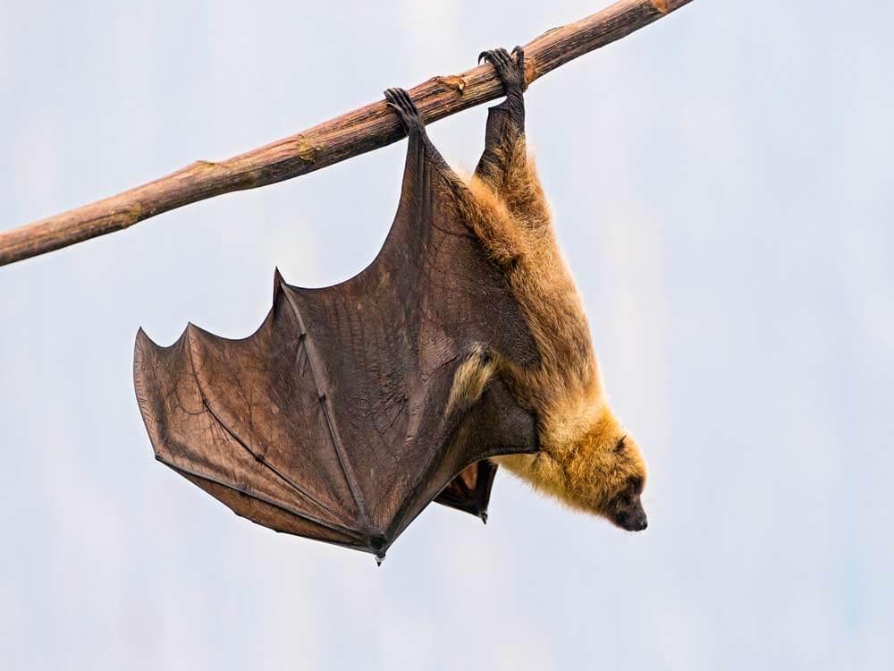 Humane Bat Control