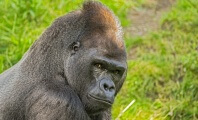 Gorilla Pays With His Life for Others' Negligence