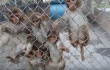 Monkeys Survived Grim Facility Only to Be Shipped to Experimenters