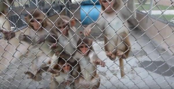 monkeys in outdoor PPI enclsoure