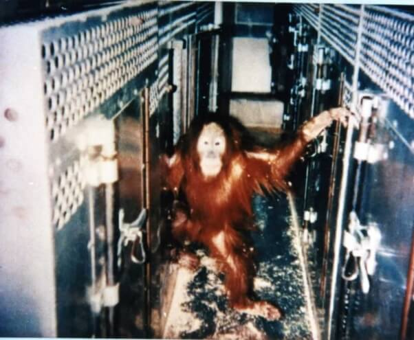 An orangutan inside Berosini's trailer. This is where Popi and others lived when not being used on stage.
