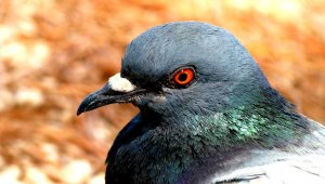 Urge Toronto Apartment Complex to End Pigeon Trapping!