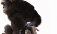 Why Is There a Handcuffed Chimpanzee in Newspapers Across the Country?