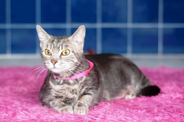 Ampersand, a cat available for adoption