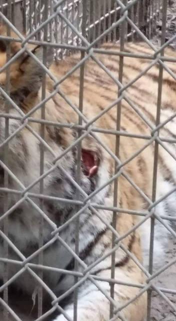Tiger-wound-Waccatee-Zoo