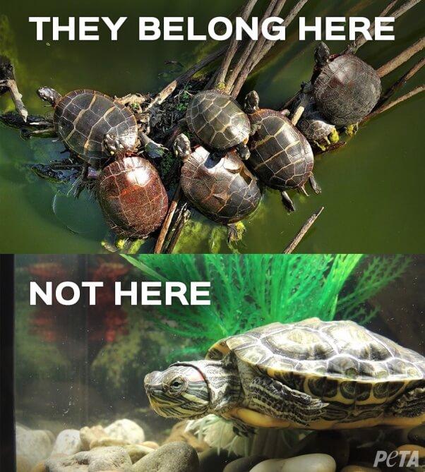 Turtles-Belong-Here-Not-Here-PETA