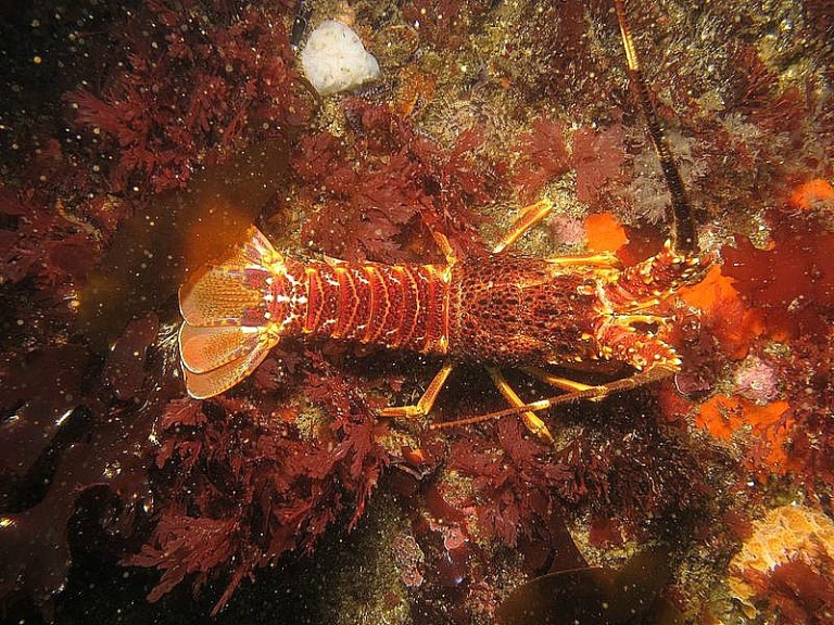 West Coast Rock Lobster