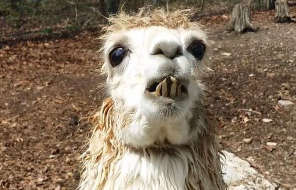 Alpaca with overgrown teeth