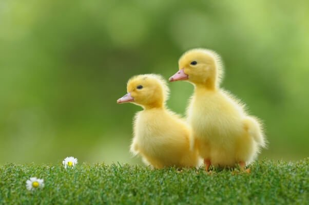 Buying a Duck or Duckling Could Mean a Lifetime of Misery | PETA