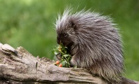Teens Suspected in Barbaric Bludgeoning Deaths of Nearly a Dozen Porcupines