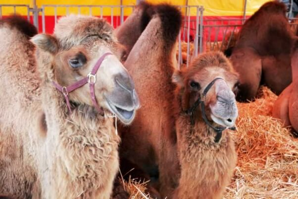 Camels in circus