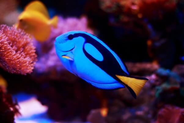 Blue Tang Fish Tropical Fish