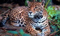 Olympic Torch Ceremony Ends With Fatal Shooting of Captive Jaguar