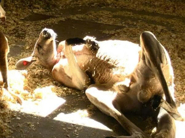 kangaroo-petting-zoo