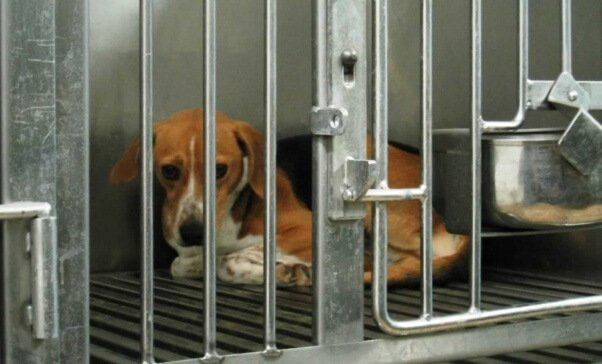 Beagle cowering in cage @ Iams