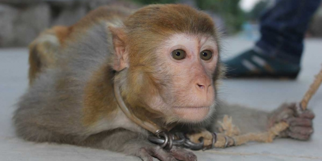 Monkeys Chained by the Neck in the Chinese Circus Industry