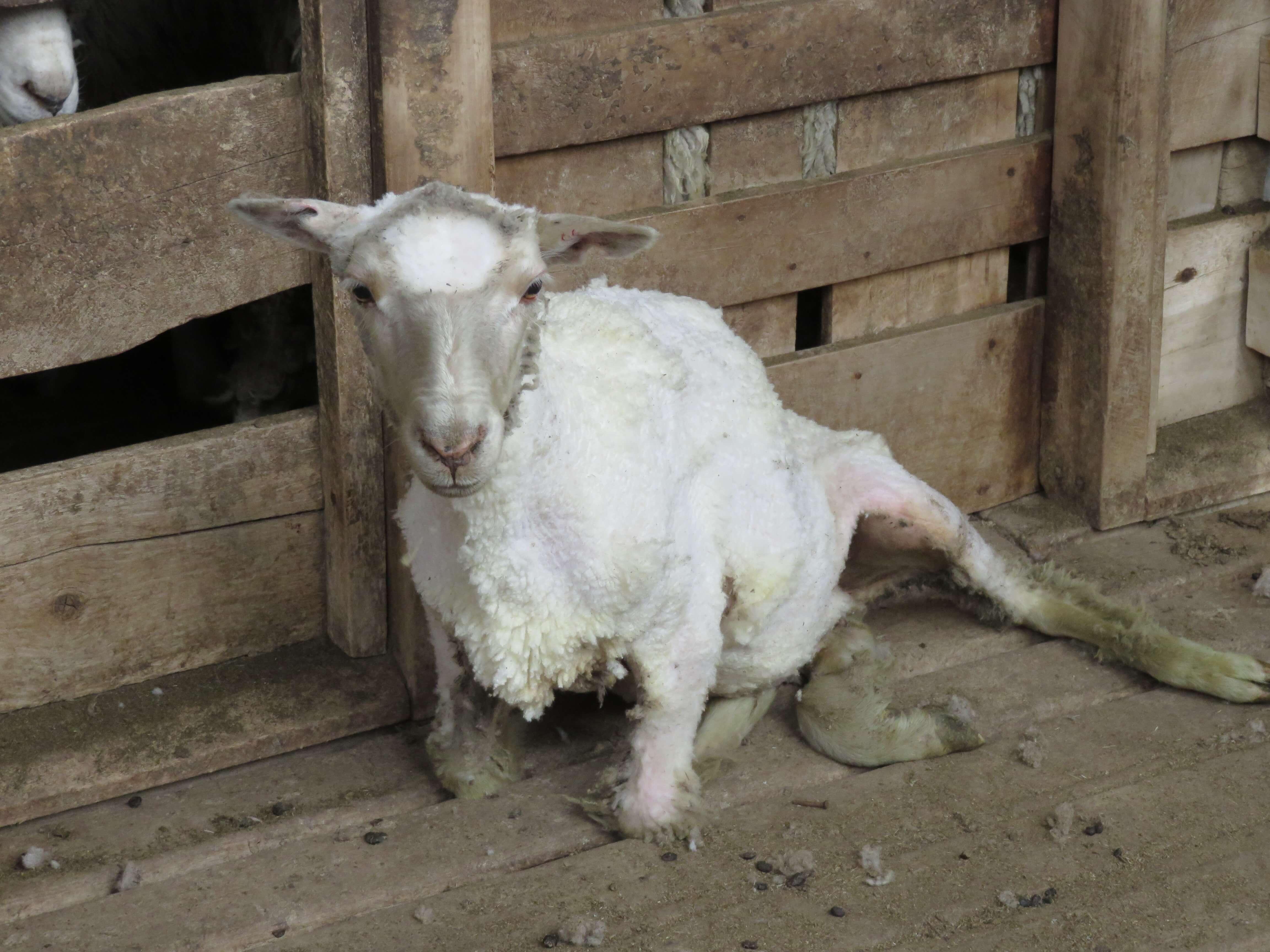 2015 –  Patagonia wool exposé