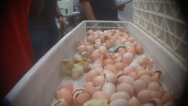 Late-hatching chicks were left in barren plastic baskets like this one.