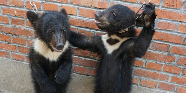 Bear Cubs Hit, Chained, and Deprived in the Chinese Circus Industry
