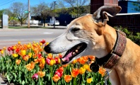 New South Wales, Australia, Announces Historic Ban on Greyhound Racing