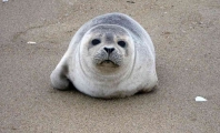 Baby Seal Euthanized After Woman Stuffs Him in a Shopping Bag
