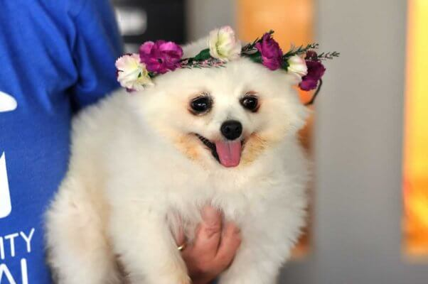 Snowball, a rescued dog available for adoption