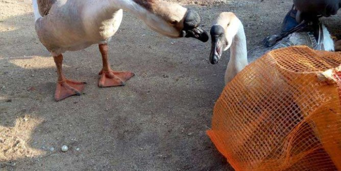 The Moment These Geese Said Goodbye Will Break Your Heart