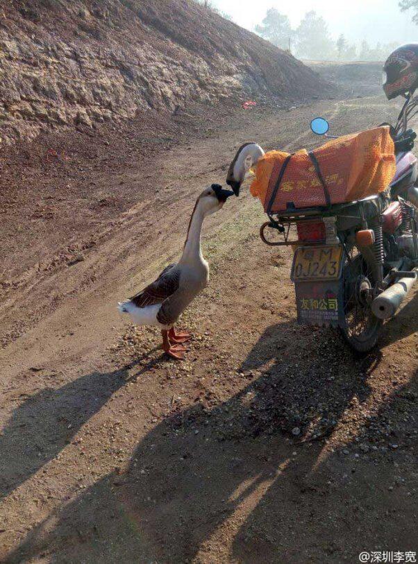 Goodbye-Kiss-Geese