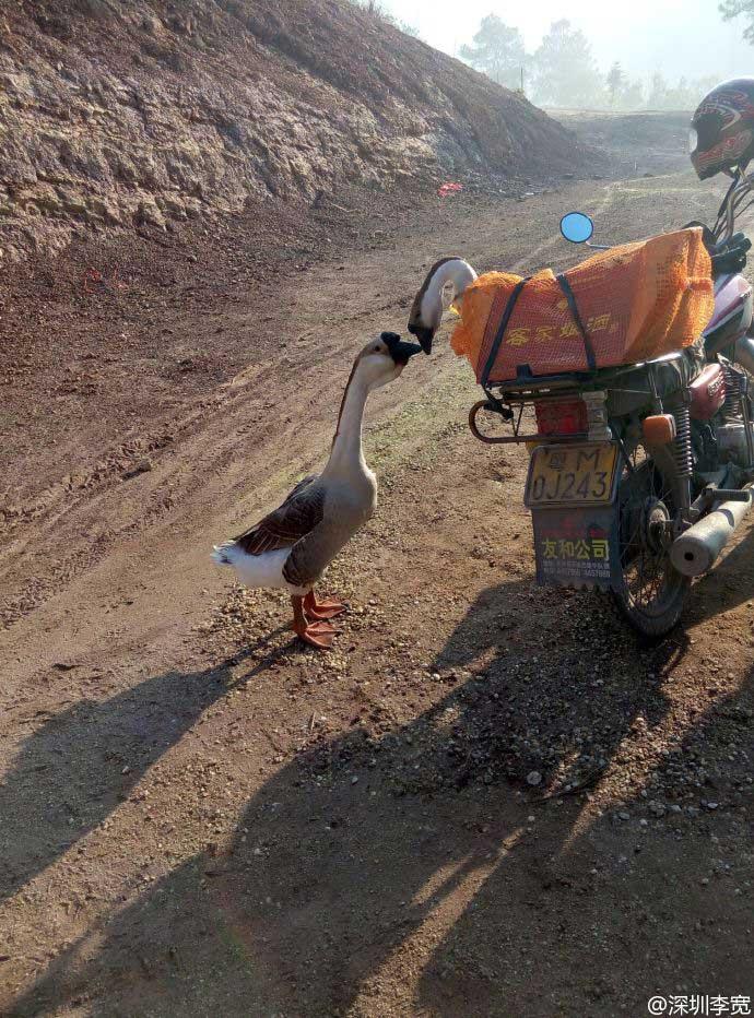 Geese kiss-goodbye