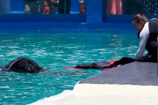trainer gives orca lolita a wetsuit to play with at the Miami Seaquarium