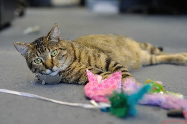 Louis Armstrong, a cat available for adoption